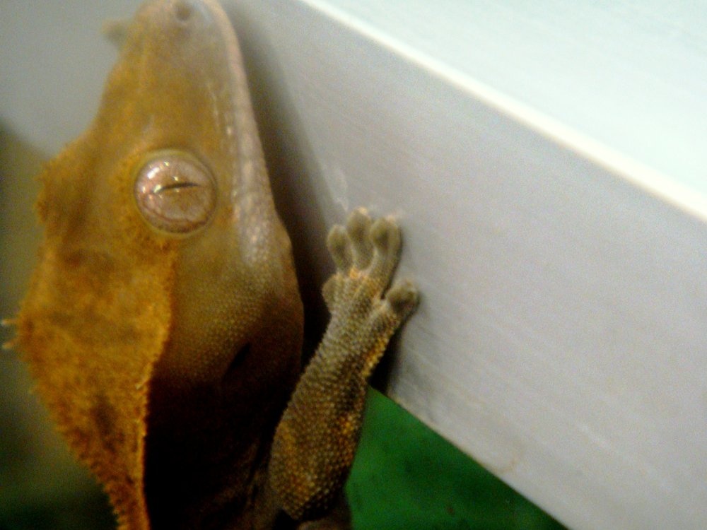 This picture shows a crested gecko, Rhacodactylus ciliatus, climbing up the vertical side of a terrarium