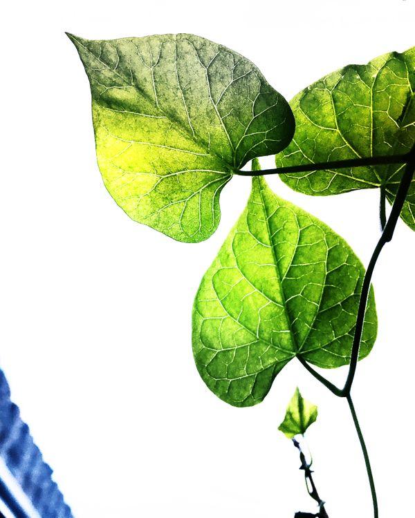 Three green bean leaves thumbnail