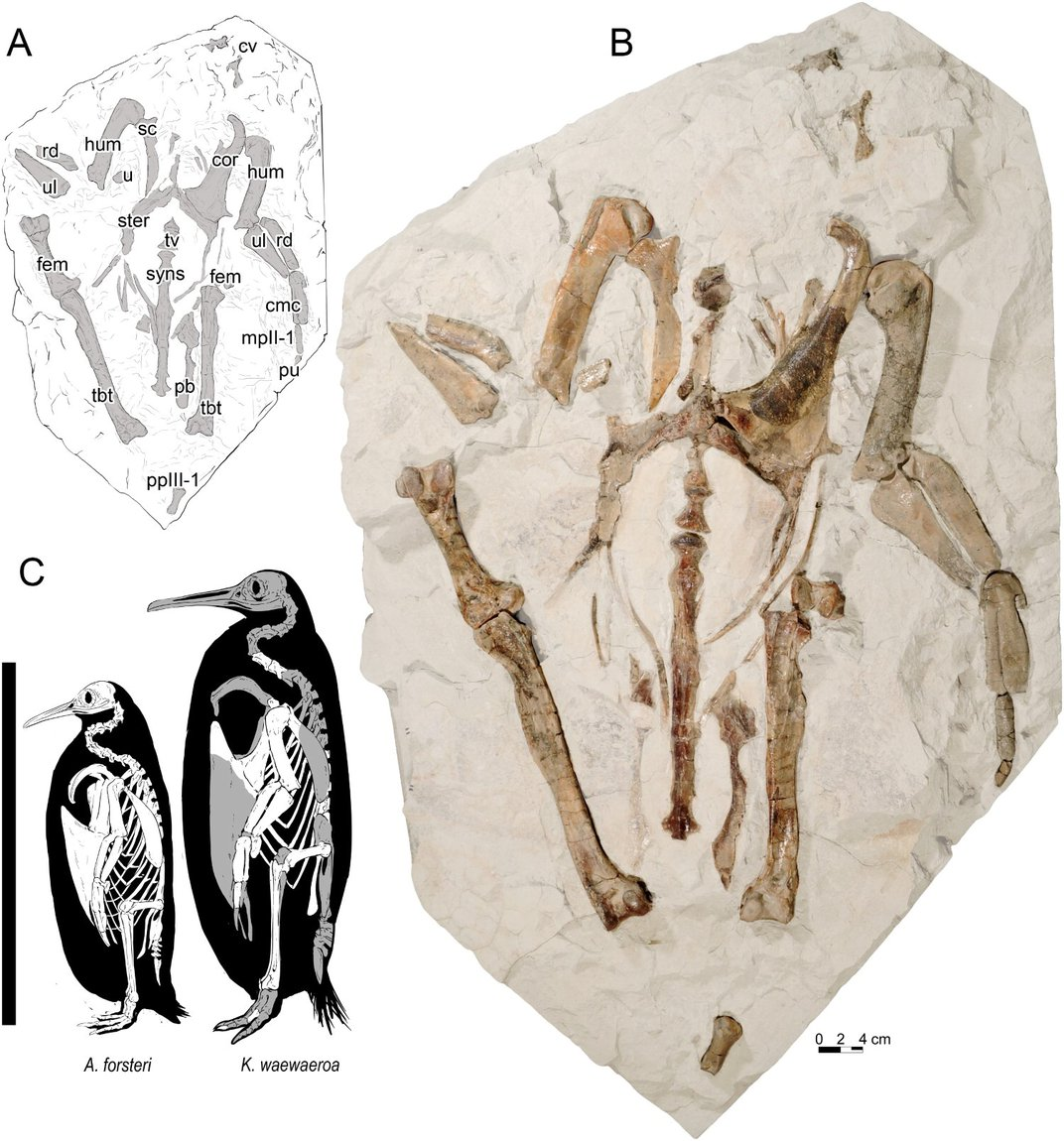 New Zealand Kids Discovered This Fossil of New Giant Penguin Species on a Field Trip