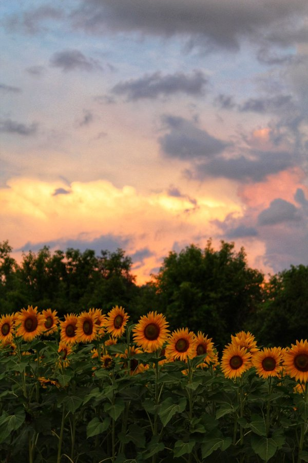 Sunflower Sunrise thumbnail