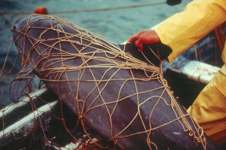 dead-vaquita-entangled-in-a-gillnet-set-for-totoaba_26367279334_o-002.jpg