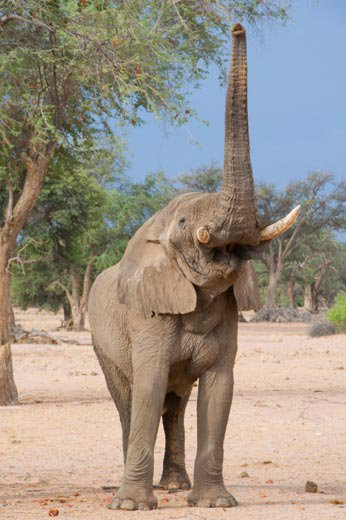 Some elephant calls are so deep in pitch they shake the ground