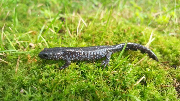 Blue Spotted Salamander thumbnail