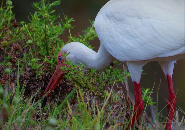 American White Ibis thumbnail