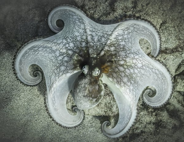 A small octopus spreads its tentacles as it tries to disappear amid its surroundings. thumbnail