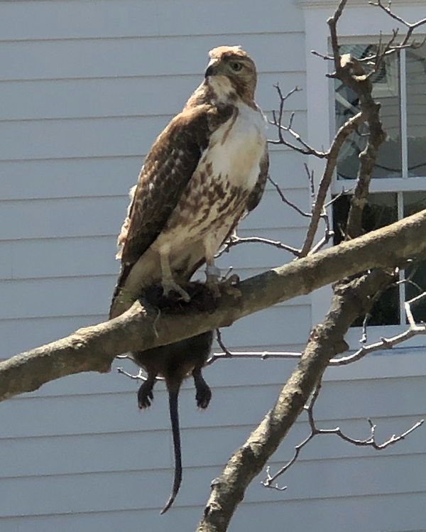 Hawk with prey front yard Cape May New Jersey thumbnail