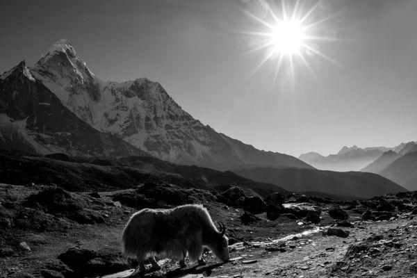 Himalayan Yak thumbnail