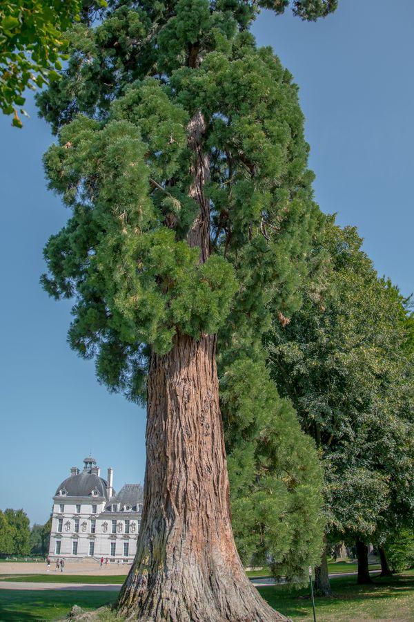 Old sequoia thumbnail