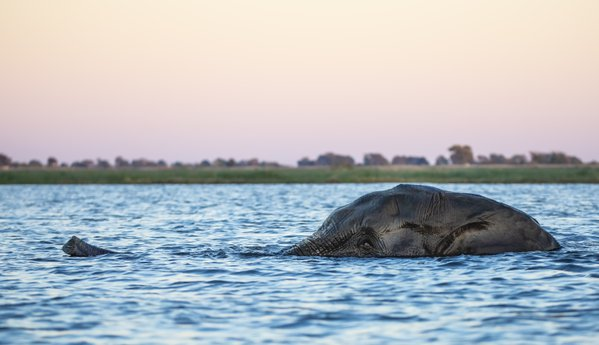 Elephant swimming across the Zambezi river thumbnail