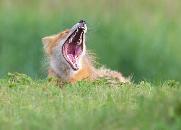 The Tired Fox thumbnail