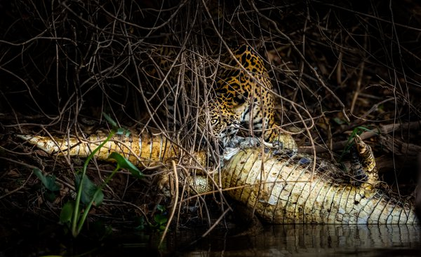 Jaguar feasting on a cayman thumbnail