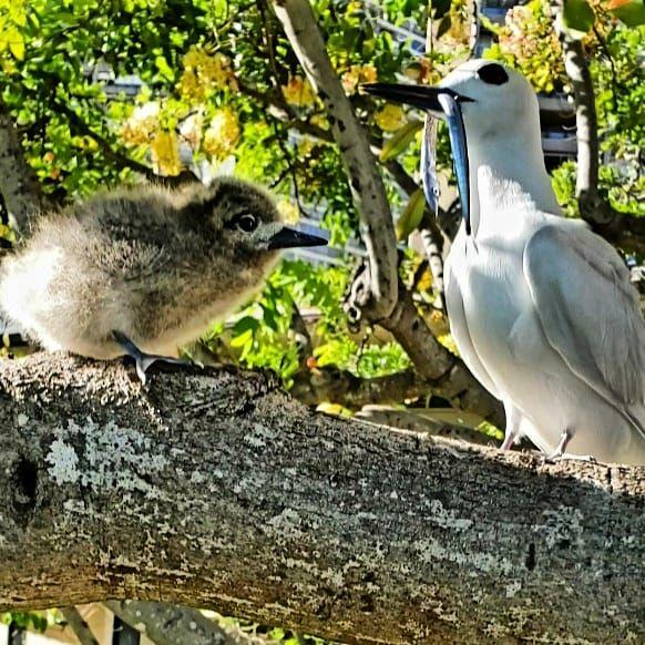 Manu o Ku, White Tern with fledgling and lunch! thumbnail