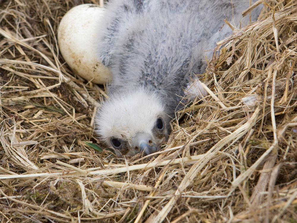 Baby Bald Eagles