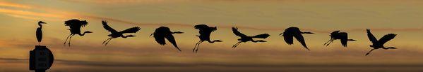 Great Blue Heron Taking Flight -- Composite image thumbnail