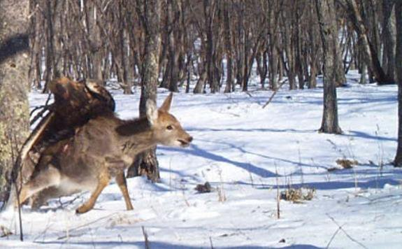 A Wild Golden Eagle Can Take Down a Deer Just As Well As a Trained One