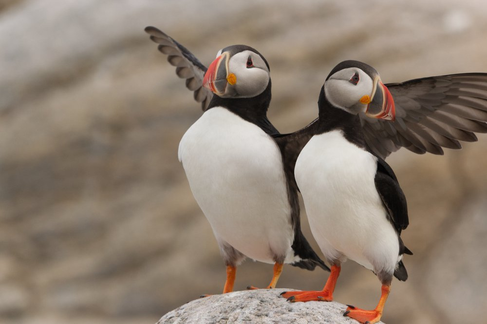 A pair of puffins stand side-by-side on the rock shores of Matinicus Rock off the coast of Maine. Here the two stand as if to celebrate.   This island, along with some of its neighbors, are part of the triumphant success story in seabird conservation strategies and research that is known widely as the Puffin Project. This photo captures both the masculine and feminine nature of these marvelous birds.