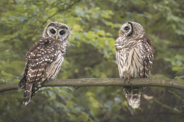 Barred owlet siblings on an early summer morning thumbnail