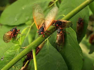 Billions of cicadas have emerged across 14 states and Washington, D.C.