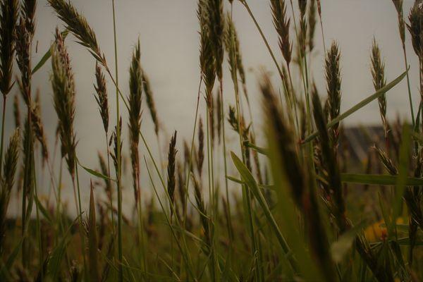 ears in a quiet field thumbnail