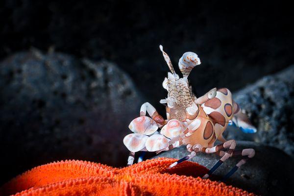 Harlequin shrimp and a seastar thumbnail