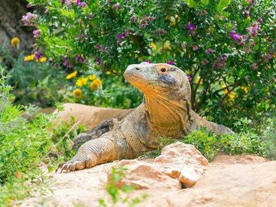 Like humans, captive Komodo dragons tend to impose their microbes upon their environments.