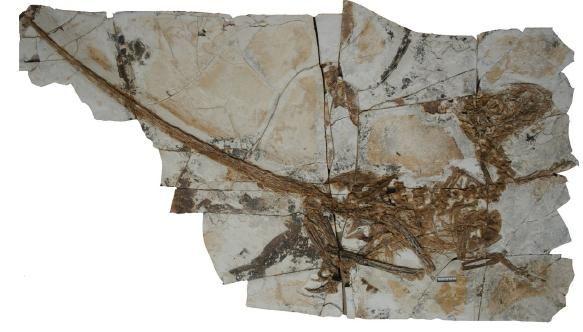 20110520083158tianyuraptor-skeleton.jpg