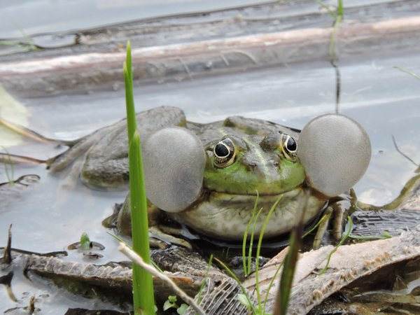 A croaking frog thumbnail