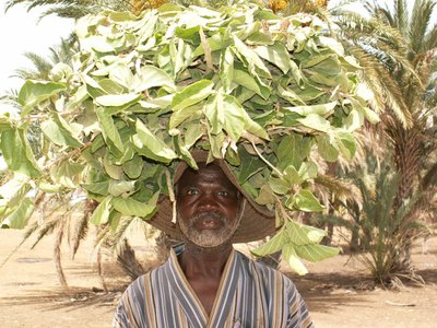 A farmer in southern Zinder, Niger, collects leaves that will feed his sheep.