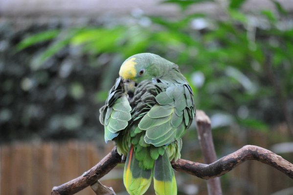 Yellow Head Parrot thumbnail
