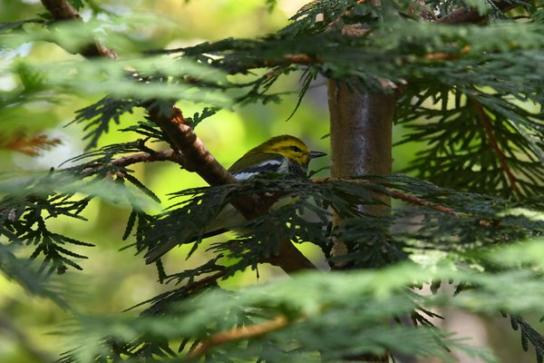 Black-throated Green Warbler thumbnail