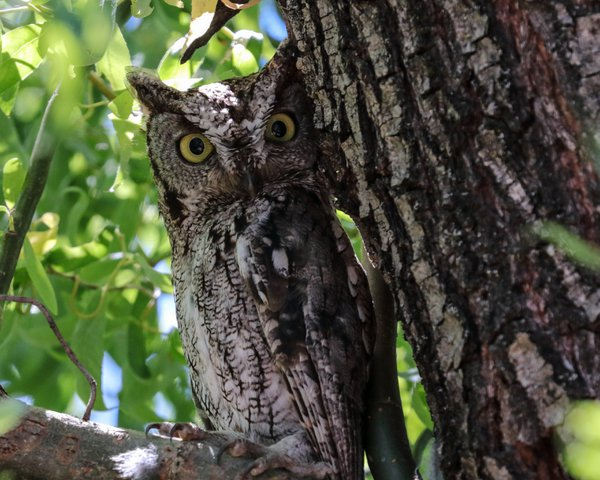 Western Screech Owl keeps watch thumbnail