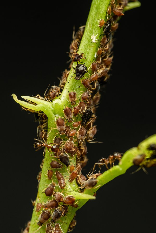 Ants and Aphids thumbnail