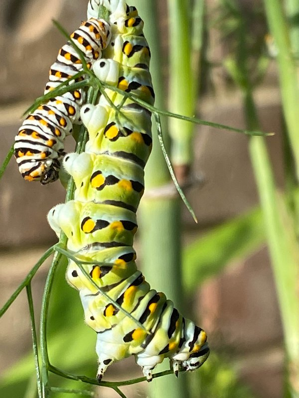 Swallowtail Cats eating fennel in Texas garden thumbnail