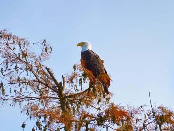 Great American Bald Eagle thumbnail