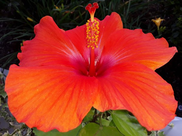 Blessing: Beautiful Tangerine Hibiscus - Methuen, MA thumbnail