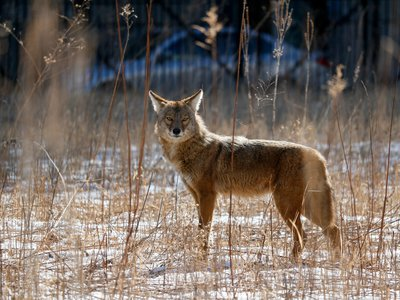 An urban coyote makes itself at home in a vacant lot on Chicago's near North Side.