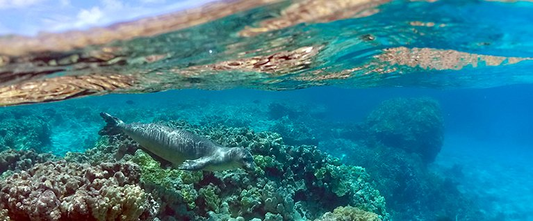 How the Tiniest of Parasites is Taking Down the Mightiest of Monk Seals