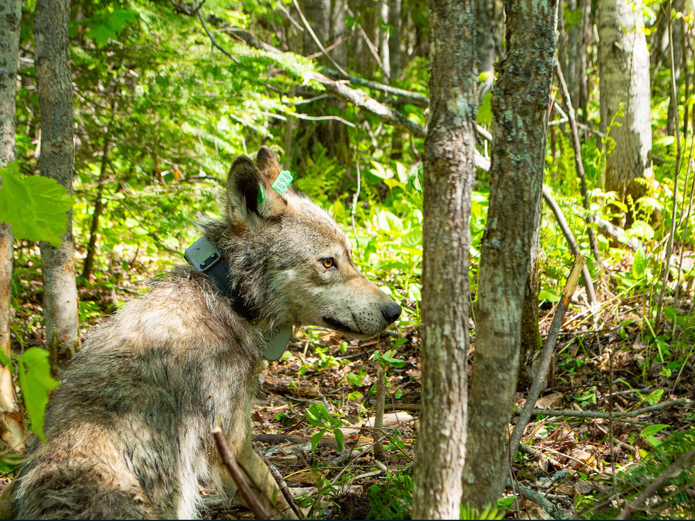 A wolf with a tracking collar secured around its neck