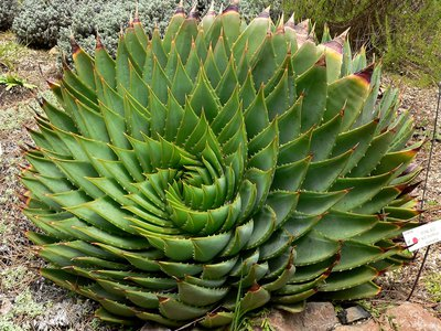 The spiral pattern of an Aloe polyphylla plant at the University of California Botanical Garden.