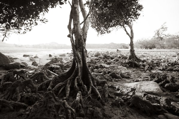 A mangrove tree on Koh Samui thumbnail