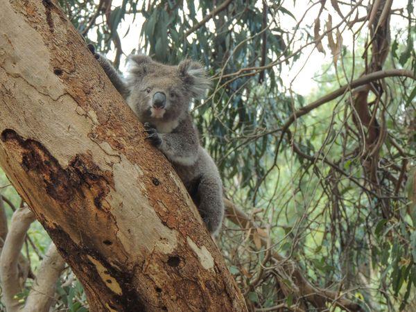 Kangaroo Island Koala thumbnail