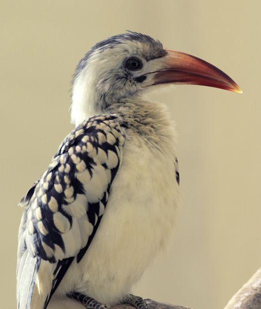 Red-billed-hornbill-2JC.jpg