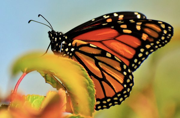 A monarch butterfly in rural North Dakota. thumbnail