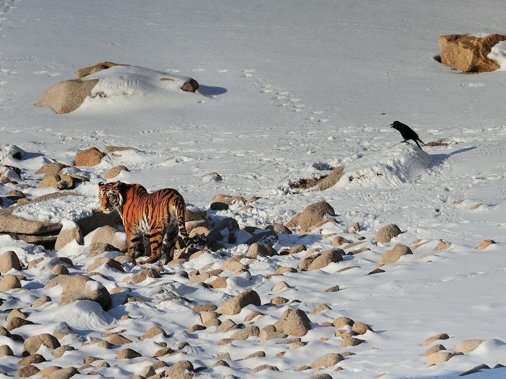 FEB15_D01_Tigers.jpg