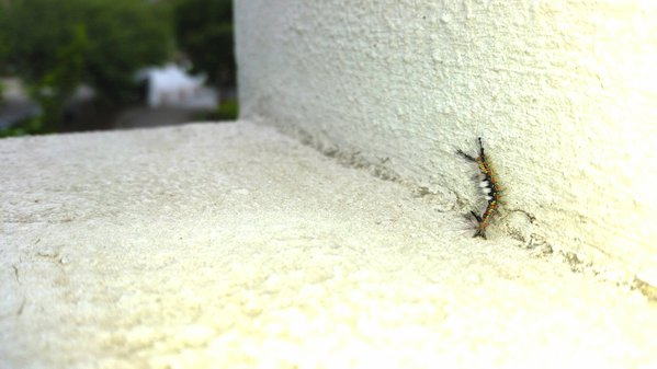 A crawling western tussock moth caterpillar in Milpitas, California  thumbnail