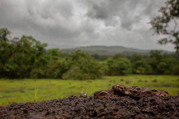 Monsoon Viper thumbnail