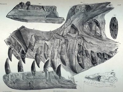 The upper and lower jaws of Duriavenator, illustrated when they were thought to belong to Megalosaurus, in A History of British Fossil Reptiles Vol. II.