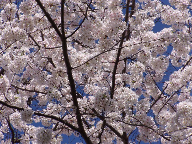 Cherry Blossoms | Smithsonian Photo Contest | Smithsonian