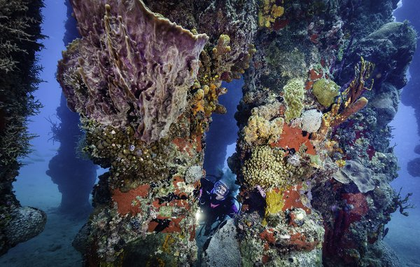 A diver looks up at sponge and coral encrusted pier support columns. thumbnail