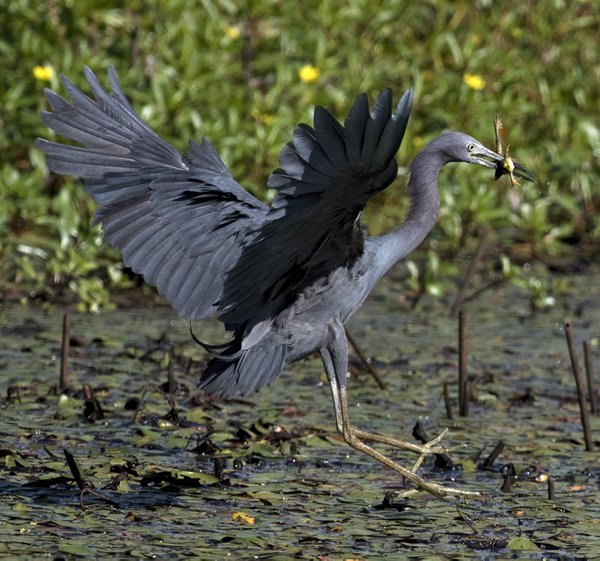 little blue heron and his meal thumbnail
